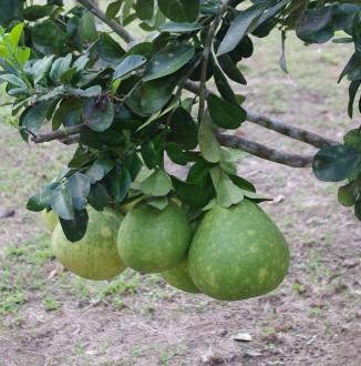 Exotische vruchten van het Guyana Schild (3 Guyana' s)