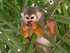 aap in het wild